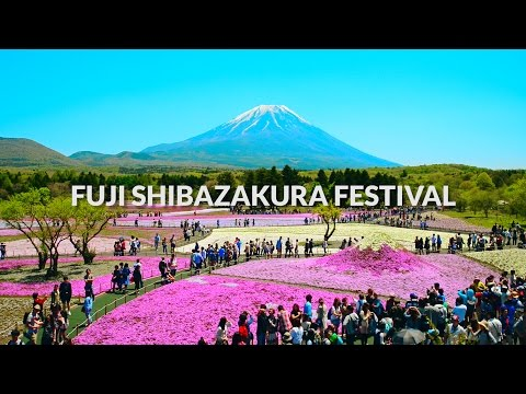 Fuji Shibazakura Festival, Mount fuji - Carpet of Flowers | One Minute Japan Travel Guide