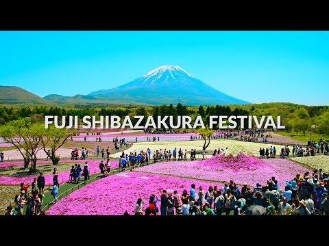 Fuji Shibazakura Festival, Mount fuji - Carpet of Flowers | One Minute Japan Travel Guide