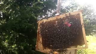 """Копия видео """"2й фильм .часть 3я  слёт пчелы на рамки с ели"""""""