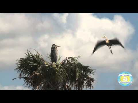 Birds and alligators in Florida's Viera Wetlands