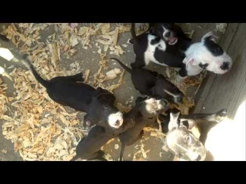 cachorros pitbull cruza con bully