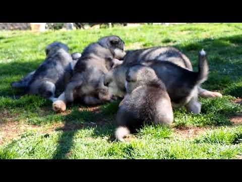 Mountain Ridge  Malamutes -  Alaskan Malamute Puppies