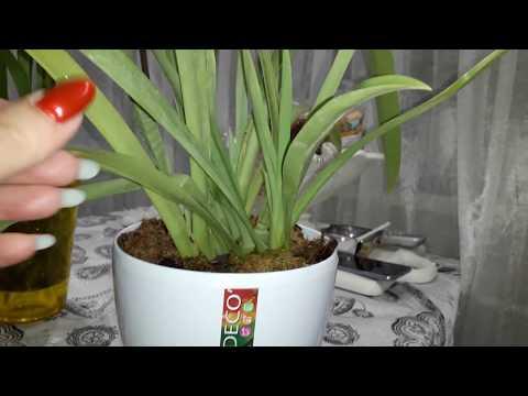 Орхидеи.Мильтониопсис.Содержание и уход.😁