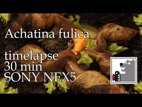 Улитки Ахатины   Achatina fulica   Timelapse SONY NEX 5