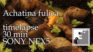 Улитки Ахатины | Achatina fulica | Timelapse SONY NEX 5