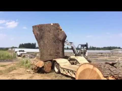 Massive 22,000 pound, 7.5 Foot Diameter Cedar of Lebanon log