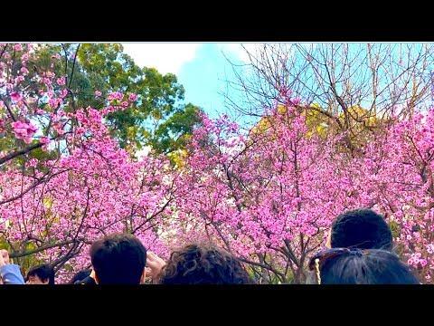 SYDNEY - CHERRY BLOSSOM FESTIVAL - AUBURN BOTANICAL GARDENS