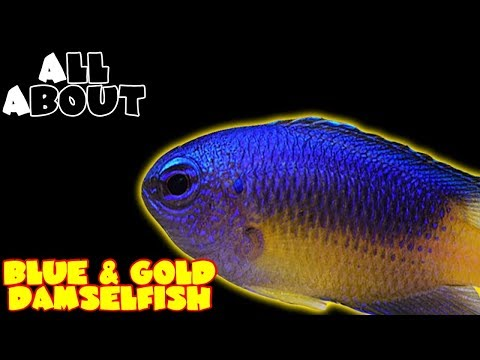 All About The Blue And Gold Damselfish Or Gold Belly Damselfish