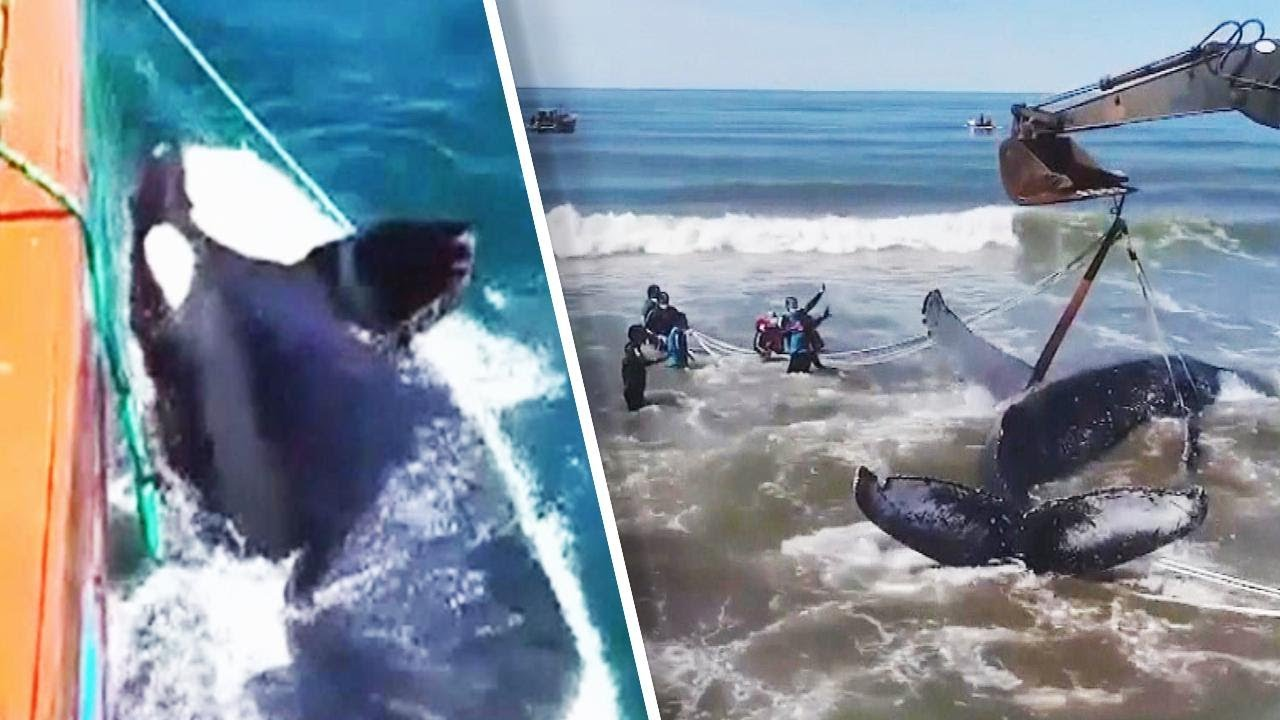 good-samaritans-rush-to-help-trapped-whales
