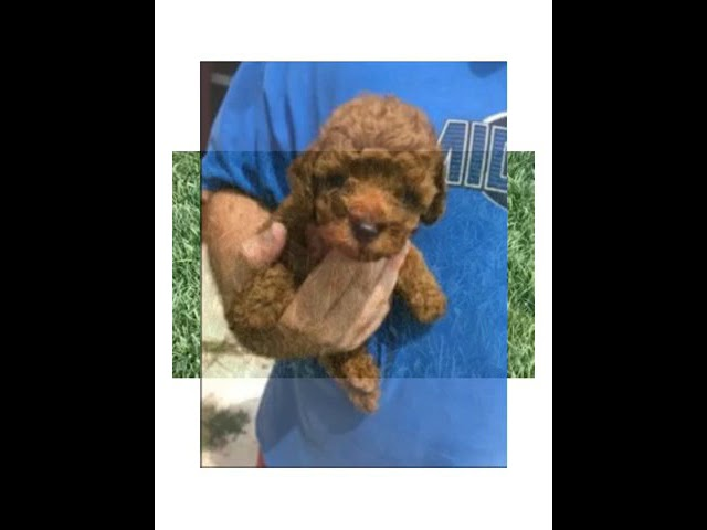 Red AKC Toy Poodles For Sale/Adoption! We Raise Toy Poodles! Weaver Family Farms