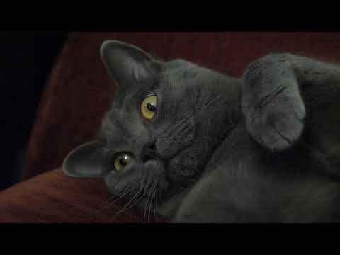 Marley's golden eyes - chartreux cat