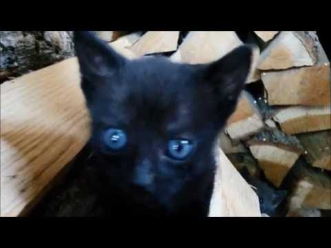 Cute little blue eyed cats are discovering the world - Black Part1