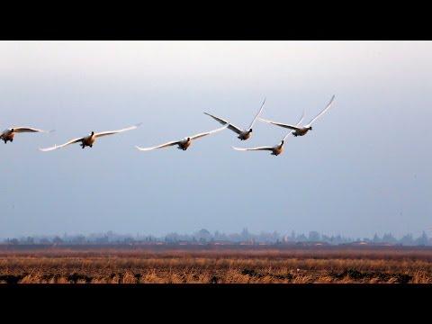 Tundra Swans at Yolo Bypass Wildlife Refuge 2014