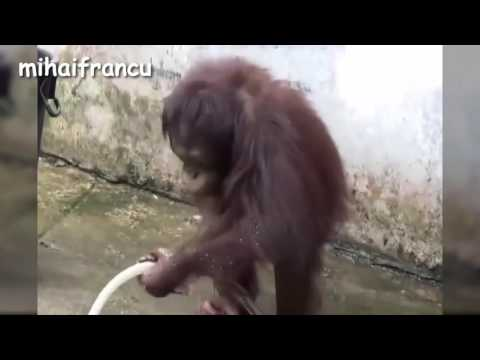 En iyi 10 komik maymun videosu Derleme 2016-YENİ HD(Top 10 Funny Monkey Videos Compilation 2016 -NEW