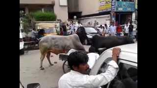 Indian Bull fight in Noida Sector 18