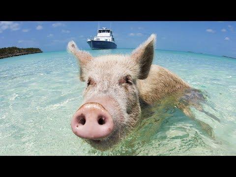 La vérité sur les cochons nageurs des Bahamas - ZAPPING SAUVAGE
