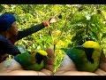 Pikat Burung Cucak Ranting Di Hutan Dengan Getah Dan  Mp3 - Mp4 Download