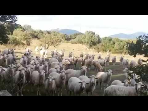 Pecore che rispondono il pastore