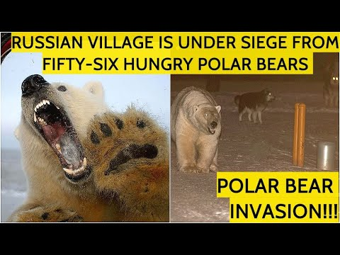 THE SIEGE! Hungry Polar Bears Surrounded Russian Village In Siberia And Hunting For Humans!