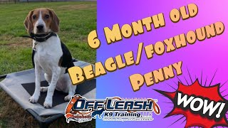 6 Month Old Beagle/Foxhound (Penny) | Amazing Transformation | Board & Train | OLK9