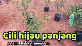 Kami Tanam Pohon Cili Hijau Panjang !!!