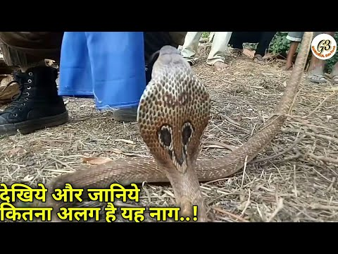    बड़ी फर्श के नीचे छिपा था यह नाग    Cobra with different marks and patterns    video : Prashant S.