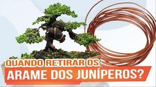 QUANDO RETIRAR OS ARAMES DOS JUNÍPEROS - ABC DO BONSAI RESPONDE