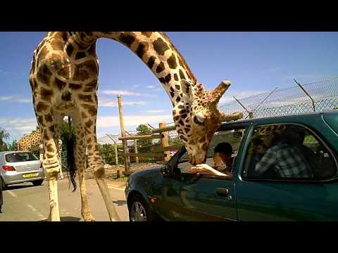 West Midlands Safari Park - Giraffe