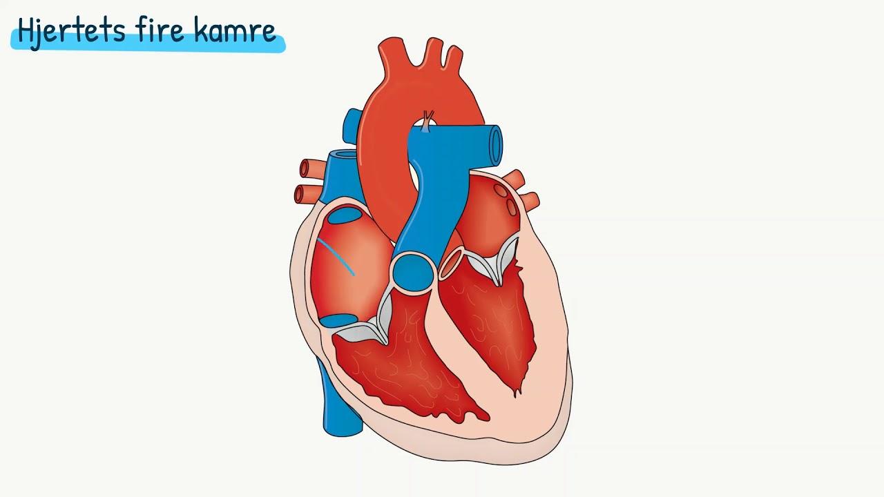 Kredsløbet: Hjertets opbygning