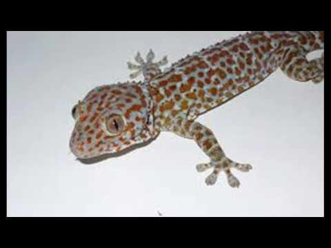 Suara Tokek (Gecko Sound Effect)