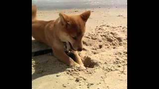 何かをうずめたくて浜辺でシャカリコする柴犬。で、ぱっかり埋まりました。