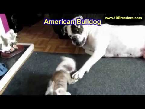 American Bulldog, Puppies, Dogs, For Sale, In Huntington, County, West Virginia, WV, 19Breeders