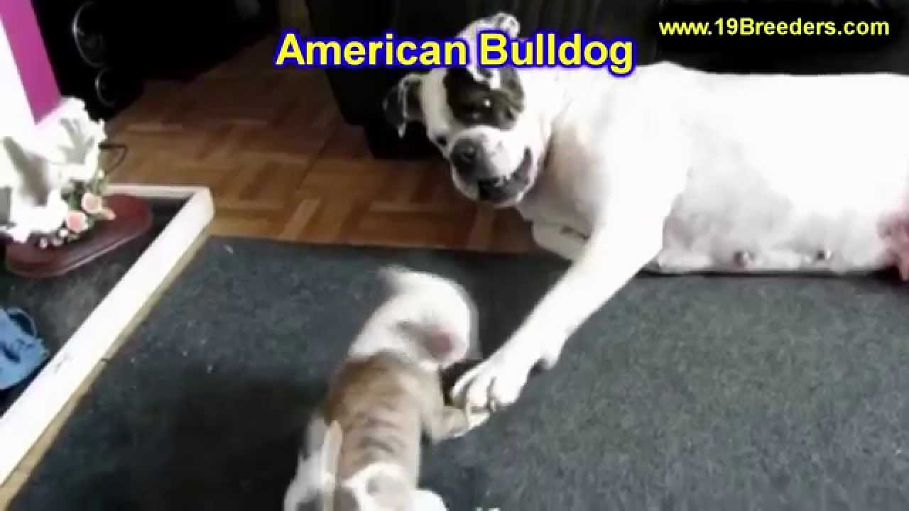 American Bulldog, Puppies, Dogs, For Sale, In Huntington ...