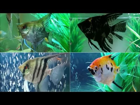 Most Common Angelfish Types  - Popular Freshwater Angelfish Varieties