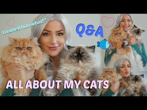 ALL ABOUT MY CATS /// Q&A /// Persian Kittens