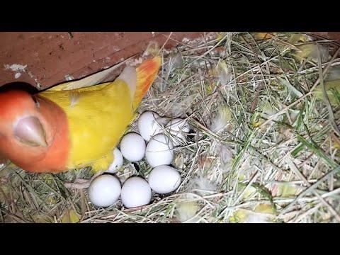 Opaline Lovebirds Lotino Personata Birds Setup Visit