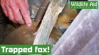Caught in a fence AND stuck in netting? - Fox cub rescue!