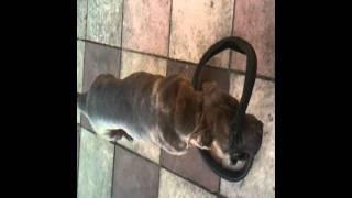 Neapolitan Mastiff X Shar-pei @ 15 Months Old.