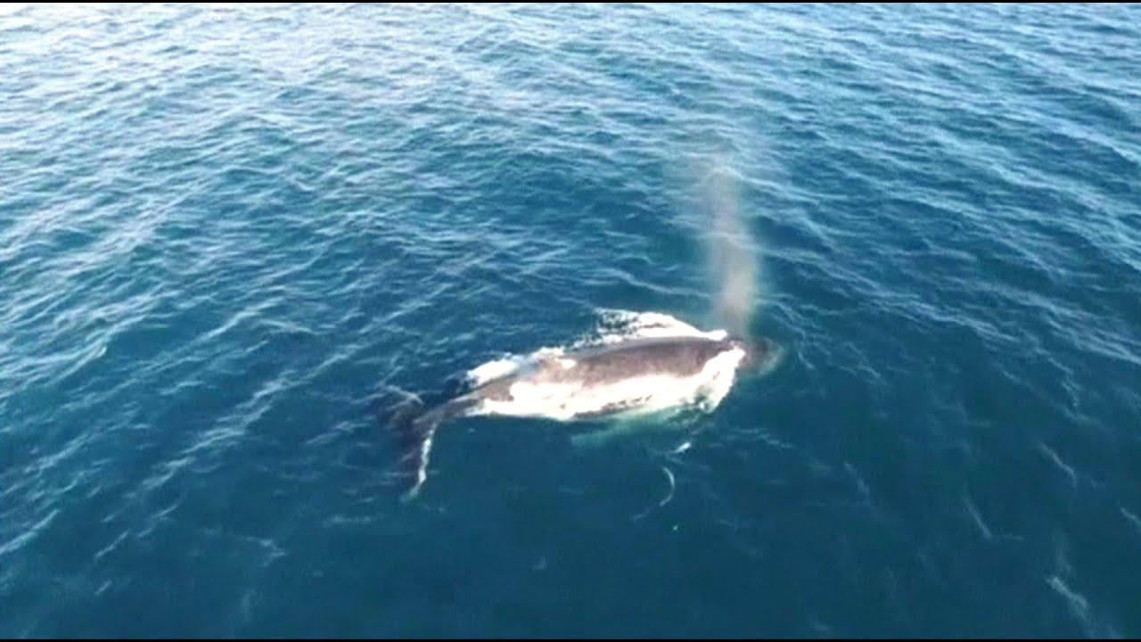 採集鯨魚鼻水樣本 無人機科學新妙用【大千世界】座頭鯨|黃金海岸|賞鯨|噴水|水聽器|生命科學 - YouTube