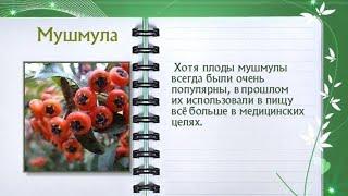 Кулинарная энциклопедия - Мушмула