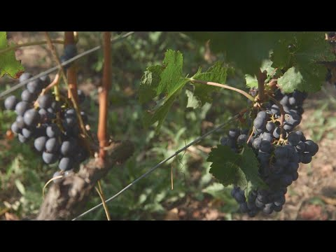 wine article Climate change A bitter taste for Bordeaux wine