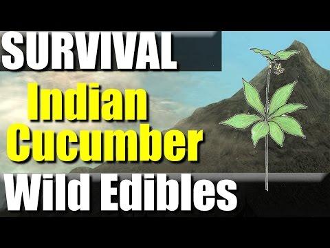 Wild Edibles- Indian Cucumber-Survival food? | RevHiker