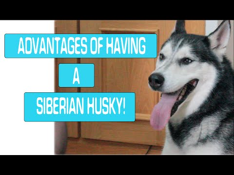 ADVANTAGES of having a SIBERIAN HUSKY! | Victoria's Little Weird World