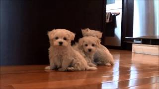 Maltese Puppies For Sale May 12, 2014