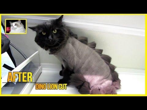 Domestic medium hair cat - Dino Cut