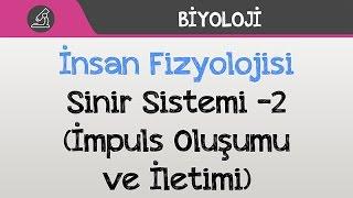 İnsan Fizyolojisi - Sinir Sistemi -2 (İmpuls Oluşumu ve İletimi)