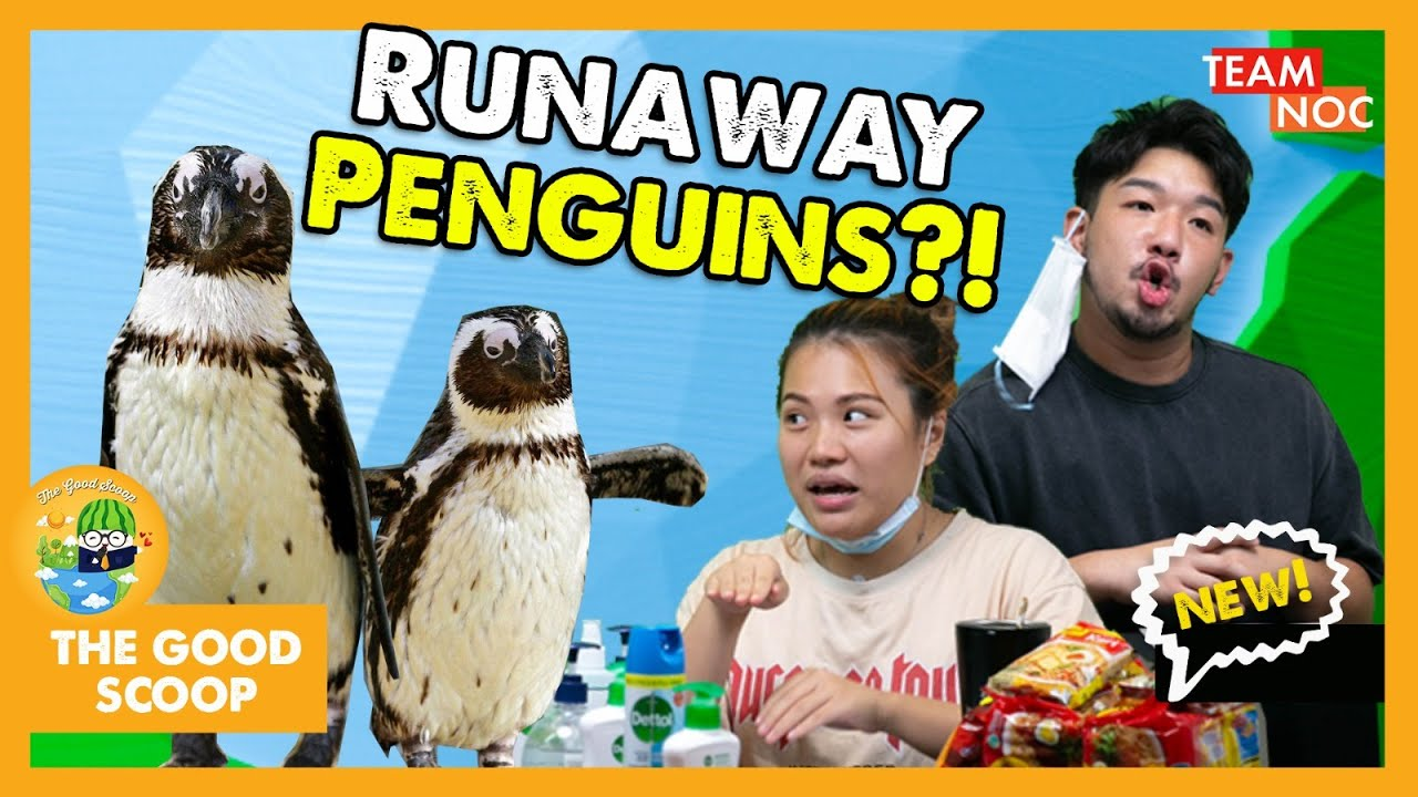 Penguins Takeover Singapore Zoo During Circuit Breaker?! | TGS Ep3