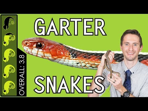 Garter Snake, The Best Pet Snake?