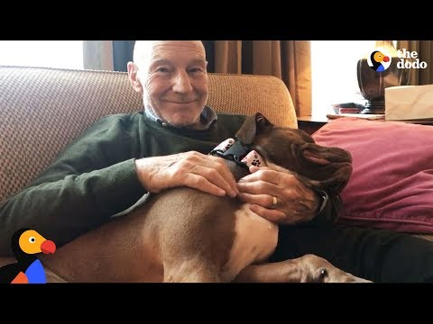 Patrick Stewart's Foster Pit Bull Dog Finds A Forever Home Amid UK Pit Bull Ban | The Dodo