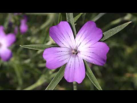 Агростемма (Куколь) - травянистое растение семейства гвоздичные